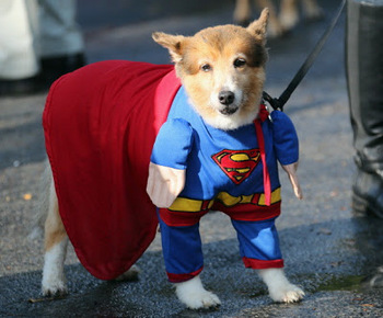 Halloween Superman Dog.jpg